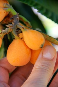 This is a loquat!
